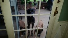 Dr. C's dogs (Maggie, Wrigley and Penny) waiting to come inside.