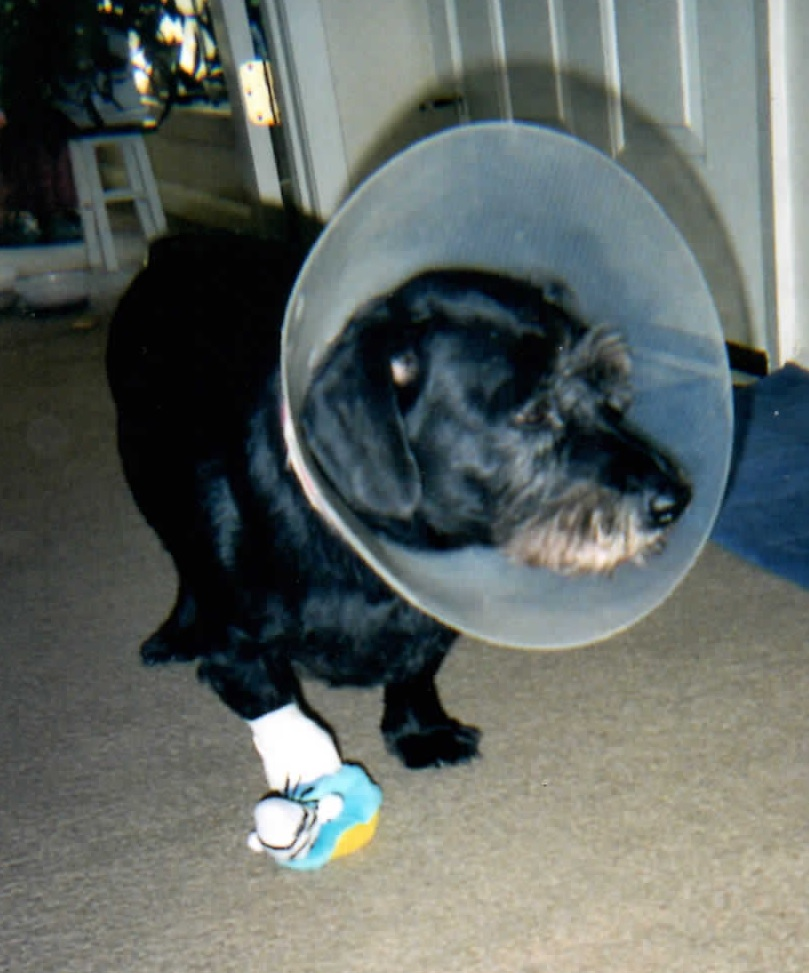 Precious Andy after having a tumor removed from his foot.
